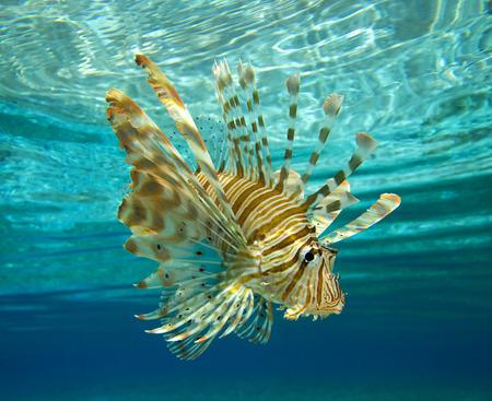 Lion fish swimming under water photo