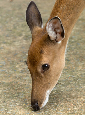 Closeup head of a whitetail deer photo