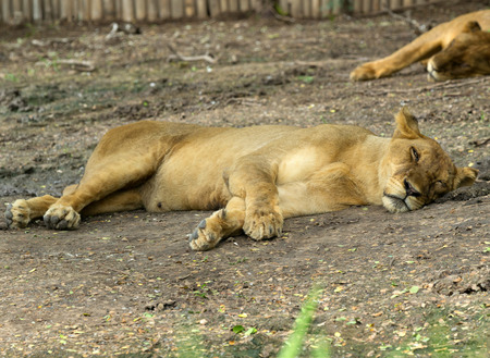 Lioness taking a short nap photo