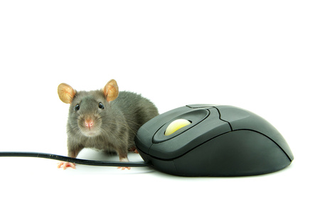 ratty: Rat and a computer mouse on white background