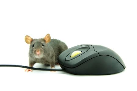 ratty: Rat e il mouse di un computer su sfondo bianco Archivio Fotografico