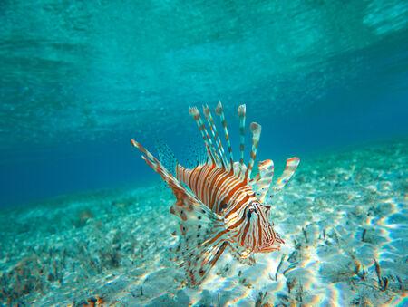 Lion Fish isolated on blue photo