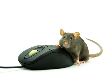 Rat and a computer mouse on white