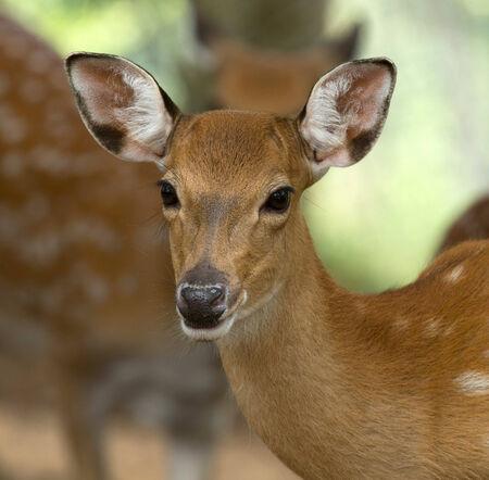 Closeup head of a whitetail deer photo
