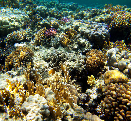 scleractinia: Coral reef with soft and hard corals with exotic fishes anthias