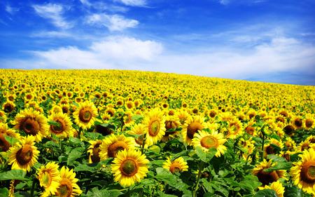 흐린 푸른 하늘 위로 해바라기 밭