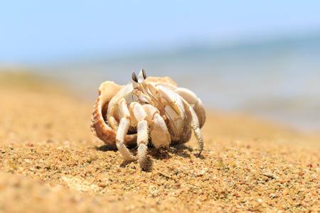 crustacea: Hermit Crab in a screw shell