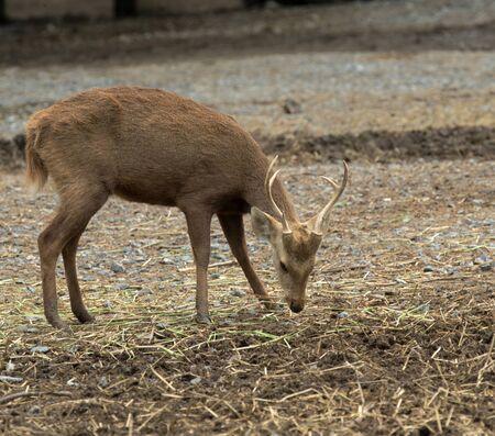 venado cola blanca: Cabeza del primer de un ciervo de cola blanca