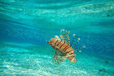 dangerous reef: Lion fish swimming under water