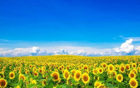 Blooming campo di girasoli sul cielo blu Archivio Fotografico - 37236658