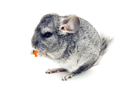 furry tail: gray chinchilla isolated on white