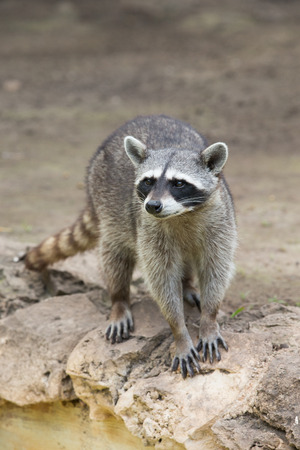 raccoons: Raccoon sitting and staring intently