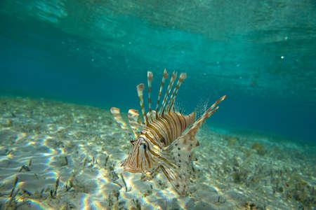 blue fish: Lion Fish isolated on blue Stock Photo