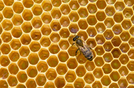 queen bee: bees swarming on a honeycomb