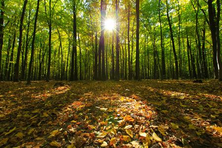 arbres de la forêt. milieux naturels de bois vert