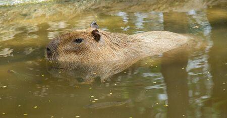 herbivore: Close up of a Capybara