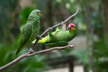 cotorra: pájaro del loro sentado en la percha