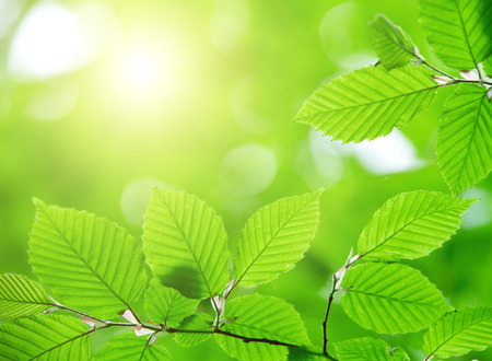 green leaves background in sunny day Standard-Bild