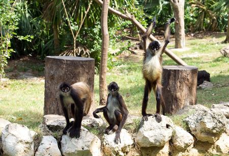 Spider monkey on a tree Stock Photo