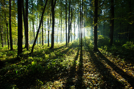 green forest: forest trees. nature green wood backgrounds