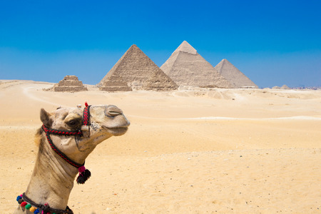 A colorfully saddled camel waits for its owner in front of the pyramids with a beautiful sky of Giza in Cairo, Egypt. Horizontal