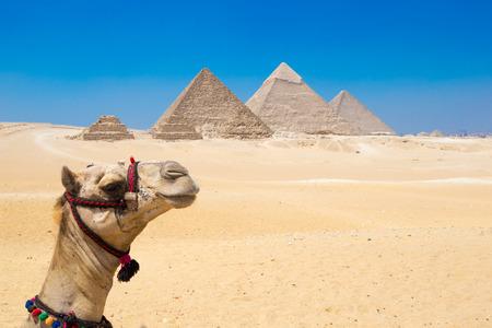 Un camello colorido ensillado espera a su dueño frente a las pirámides con un hermoso cielo de Giza en El Cairo, Egipto. Horizontal