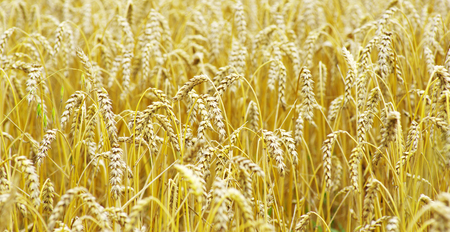 gramineous: Fields of wheat at the end of summer fully ripe