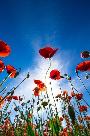 Poppy flower in the sky Stock Photo
