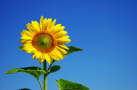 sunflower seeds: yellow sunflower and blue sky background Stock Photo