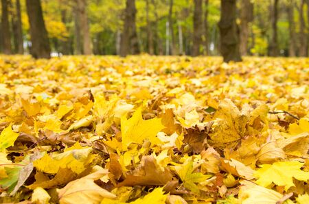 fall trees: autumn leaves background in sunny day