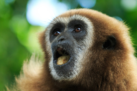 hairy arms: gibbon