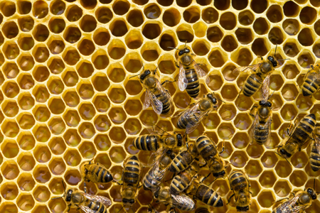 bee swarm: bees swarming on a honeycomb