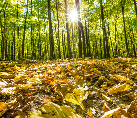 uplifting: autumn forest trees. nature green wood backgrounds Stock Photo