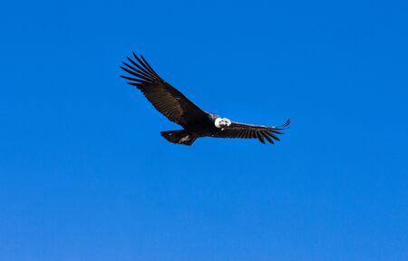 condor: condor in sky