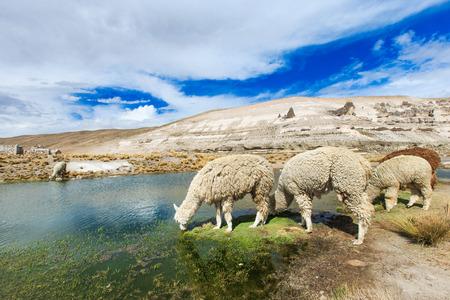 peru: lamas in Andes,Mountains, Peru