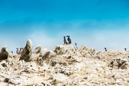 seabirds: Seabirds on the rockface in the Ballestas island, natural park. Peru