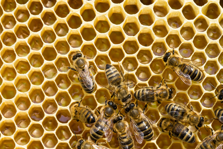 abejas: un enjambre de abejas en un panal de miel