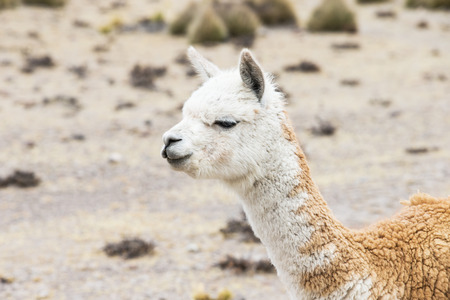 andes: lamas in Andes,Mountains, Peru