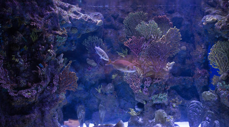 red coral colony: Photo of a tropical fish on a coral reef in an aquarium