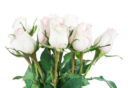 rosas blancas: rosa aisladas sobre fondo blanco