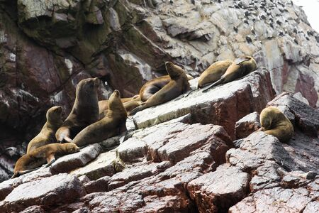 lions rock: Sea lions fighting for a rock in the peruvian coast at Ballestas islands Peru