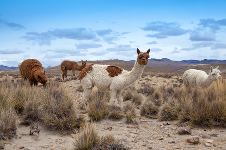 andes: lamas in Andes Mountains, Peru
