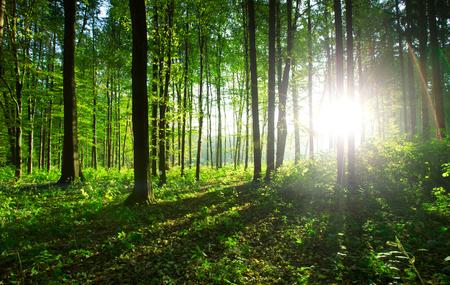 Bosbomen. Natuur groene houten achtergronden