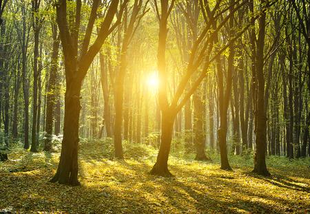 cut through: Autumn forest with the cut through rays of a sun