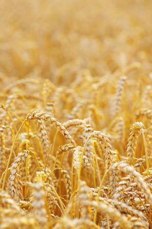golden wheat field in summer Stock Photo