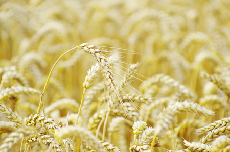 seed: golden wheat field in summer Stock Photo
