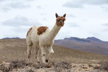 アンデス山脈、ペルーのラマ僧