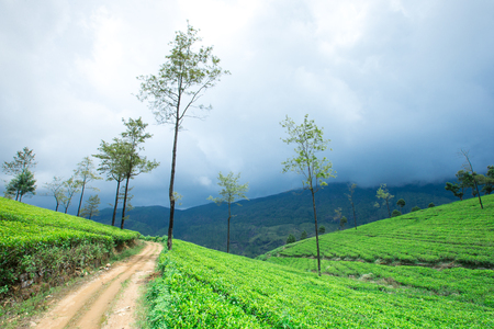 Tea plantation . Nature background