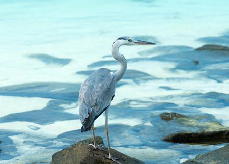 Grey heron standing on white beach on Maldives island Stock Photo