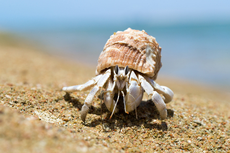 Hermit Crab in a screw shell